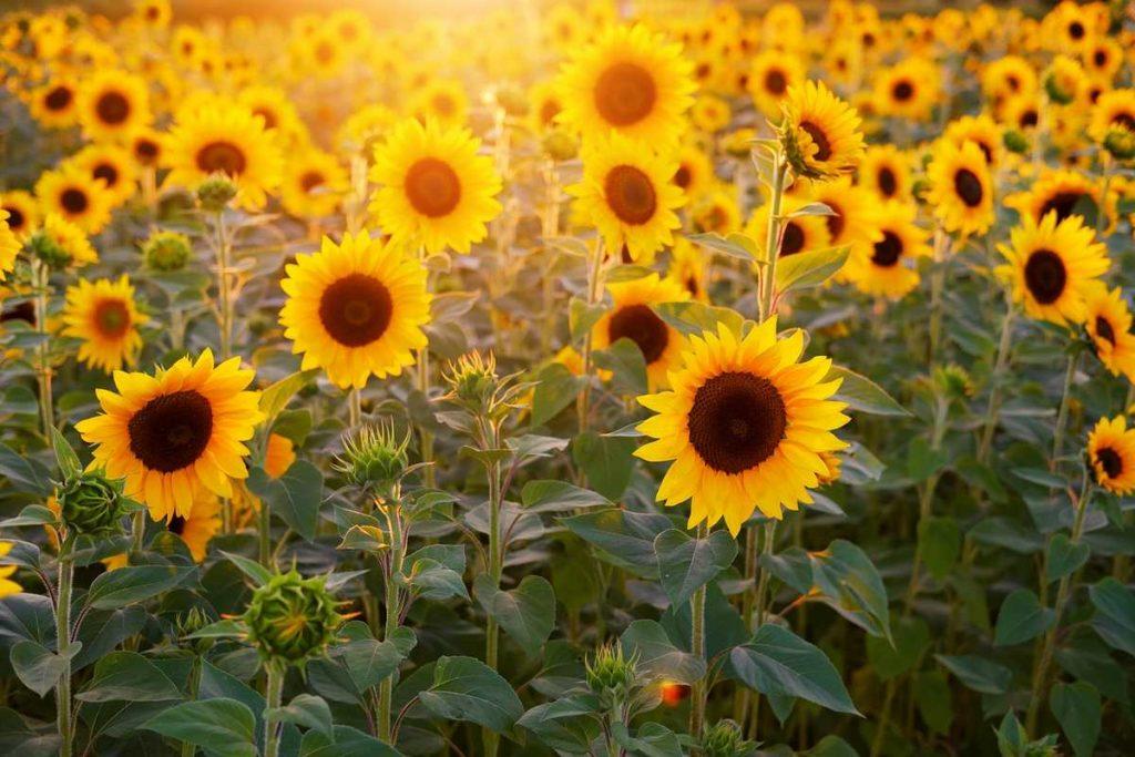 Big, yellow sunflowers.